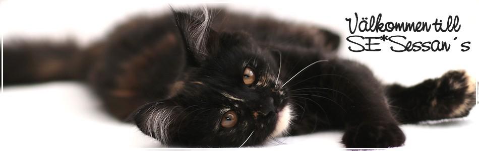 SE*Sessans Sibiriska katter & resten av vår familj